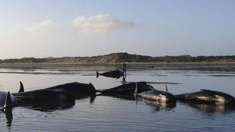 Más de 50 ballenas piloto quedan varadas en Nueva Zelanda