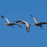 Se acaba el invierno: las grullas vuelan ya hacia el norte de Europa