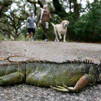 "Florida se prepara para su particular ""lluvia de iguanas"""