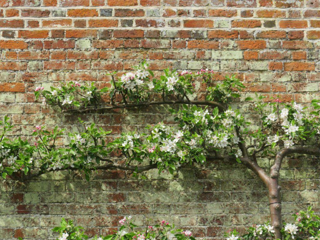 Manzano cultivado en espaldera contra un muro. | FOTO: Sarah Schofield