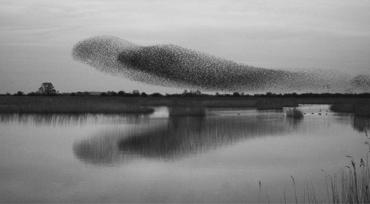 Una bandada de estorninos volando en grupo sobre una laguna. | FOTO: MintImages
