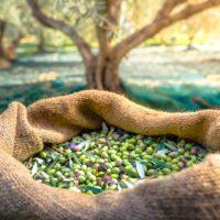 Filomena deja el rendimiento del olivar más bajo en 25 años