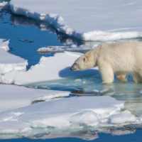 El deshielo ártico cuadruplica el gasto energético de los osos polares