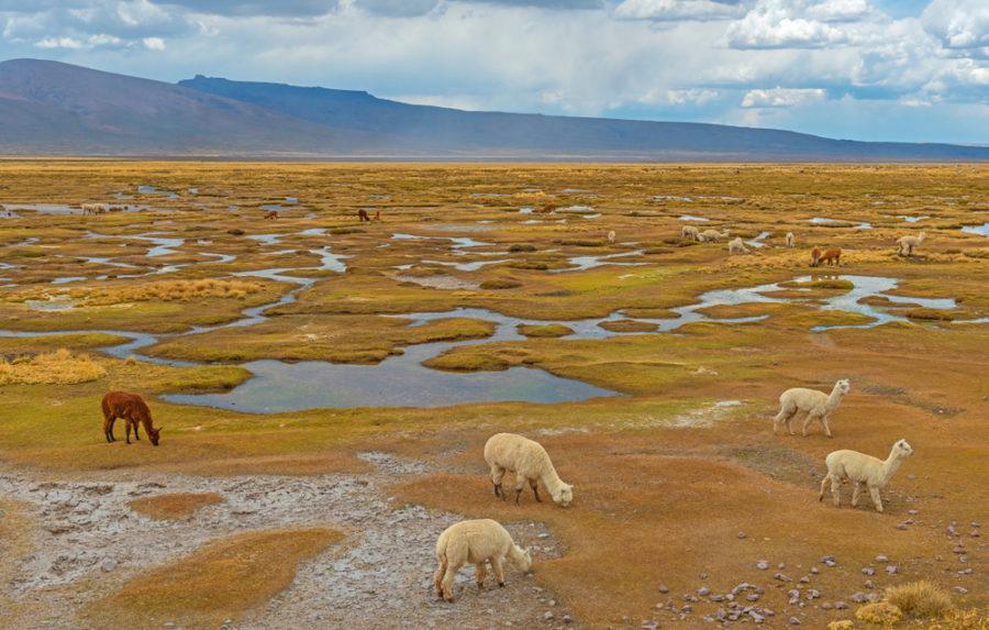 Alpacas pastando en el altiplano de Perú en la Reserva Nacional de Salinas y Aguada cerca de Arequipa.   FOTO: SL Photography