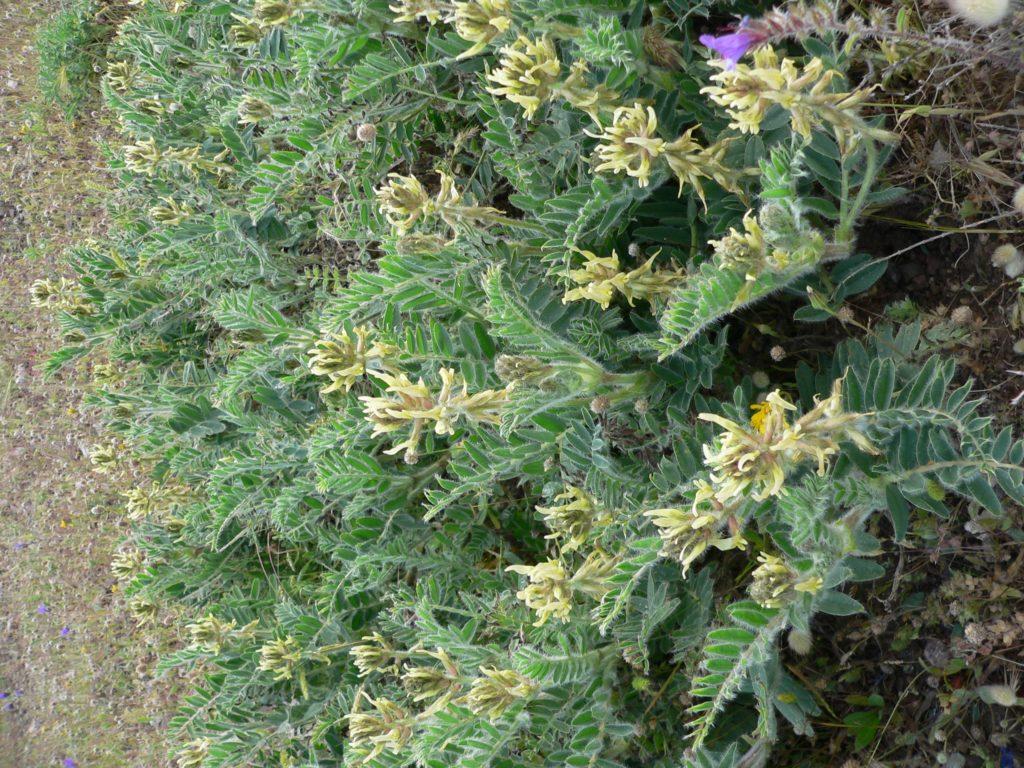 Astragalus nitidiflorus Jiménez Mun. et Pau ©Dirección General del Medio Natural, Región de Murcia.