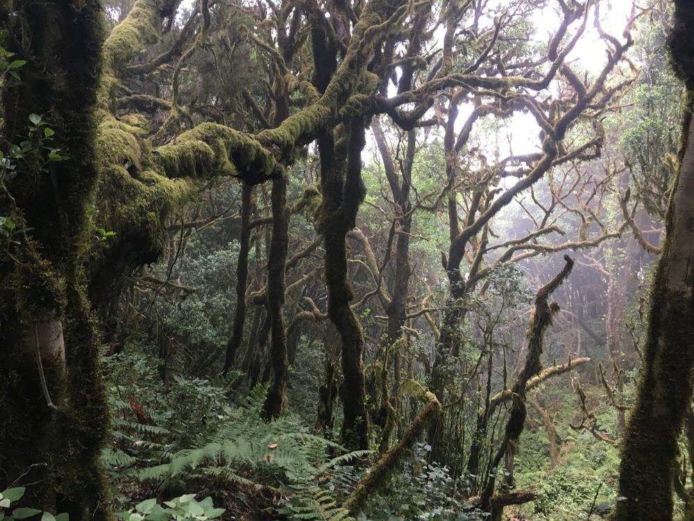 Bosque de laurisilva en el Parque Nacional de Garajonay, en la isla canaria de La Gomera. FOTO: Jessica Hyde