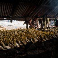 El olor del dinero: los riesgos del 'boom' de la harina de pescado en Gambia