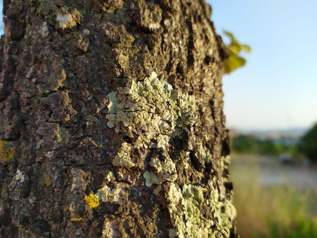 Los líquenes son organismos complejos muy sensibles a la contaminación.   FOTO: L. Force
