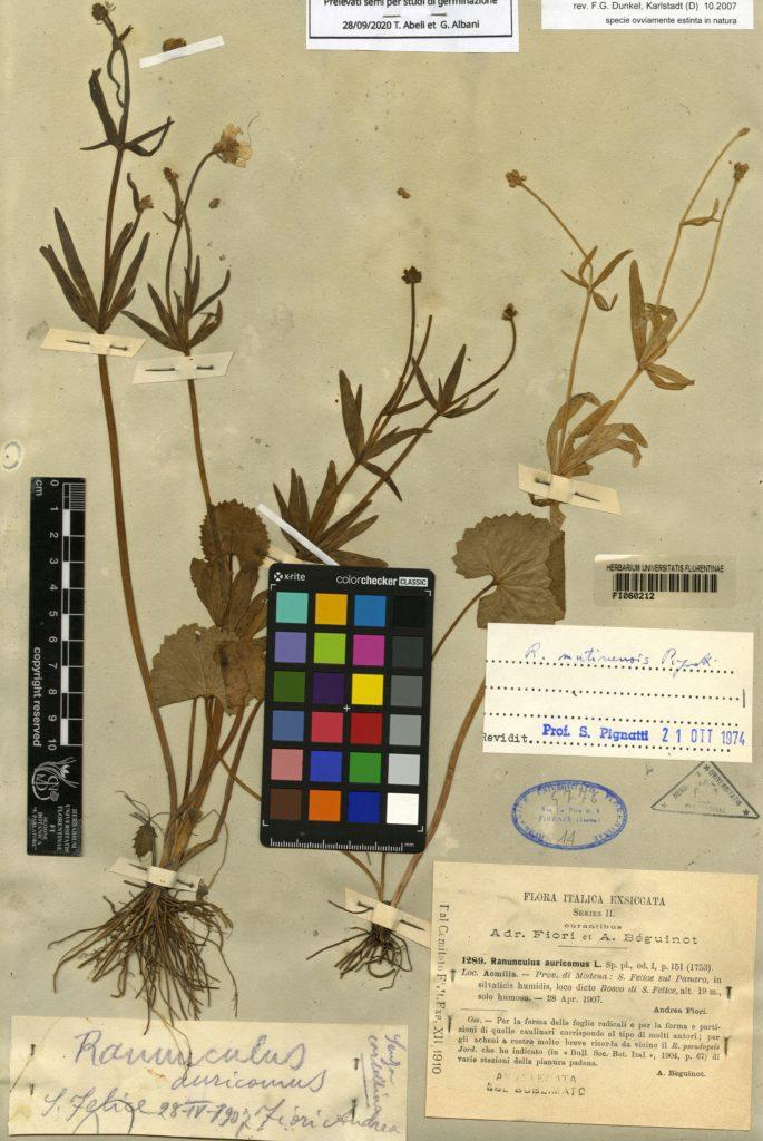 Ranunculus mutinensis Pignatti © Herbarium Centrale Italicum, Università degli Studi di Firenze Permission to use this photo granted to Thomas Abeli, Dipartimento di Scienze, Università Roma Tre.