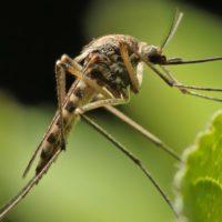 Desarrollan un dron con el tamaño y la agilidad propios de los mosquitos