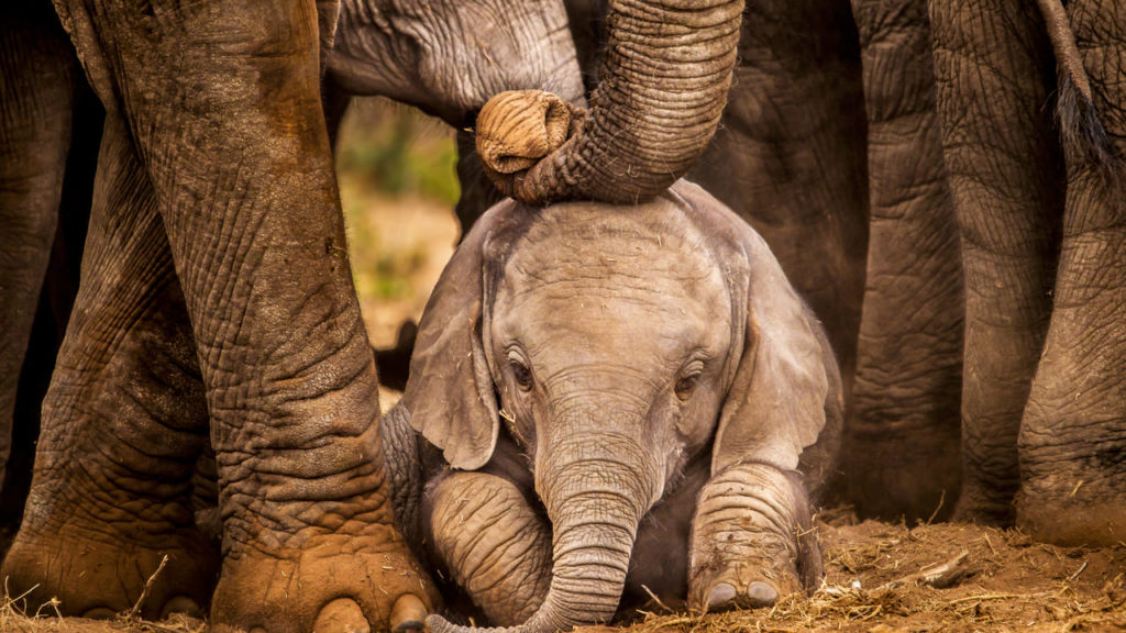 elefantes, vida