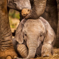 Las especies de elefantes africanos pasan a estar al borde de la extinción