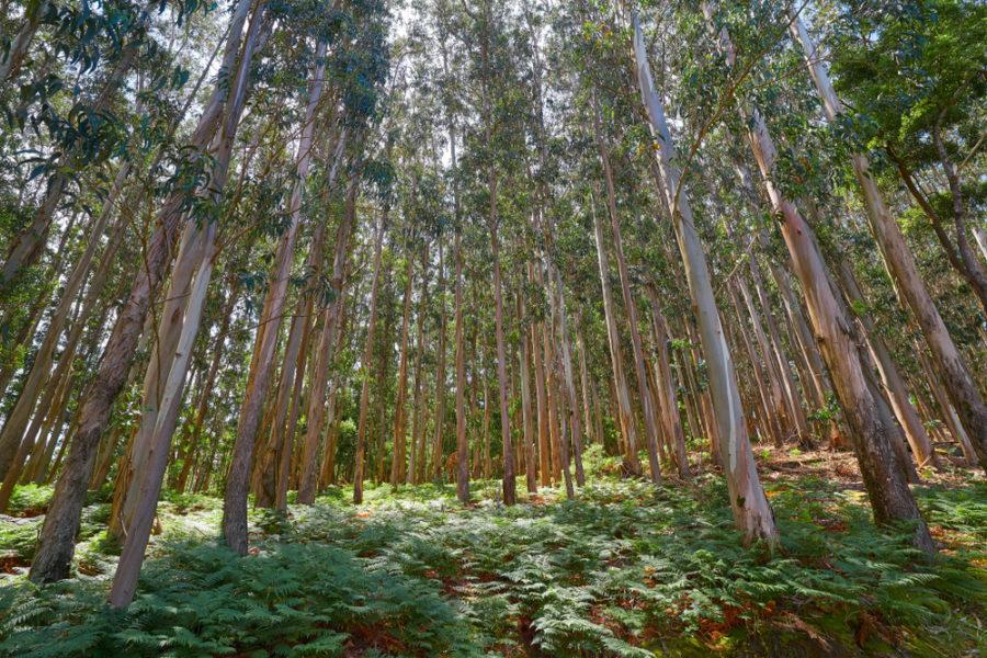Plantación de eucaliptos en Galicia. | FOTO: Luna Marina