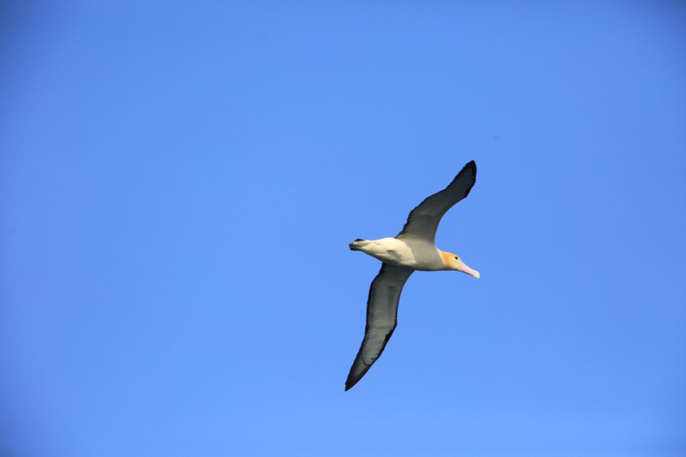 Ejemplar de albatros de cola corta (Phoebastria albatrus). | FOTO: FeatherCollector