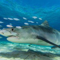 Los dientes del tiburón tigre revelan la historia oculta del depredador