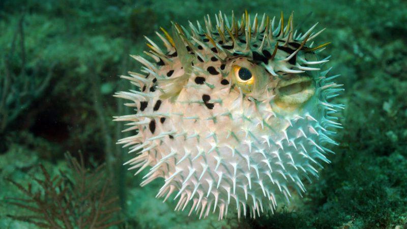 El pez globo inspira un gel para limpiar el agua