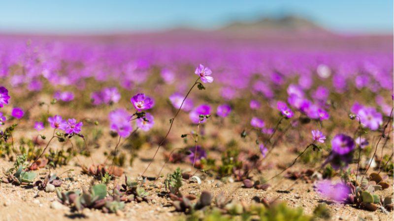 La sorprendente vegetación del desierto de Atacama