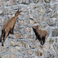 Unas cabras salvajes desafían la ley de la gravedad
