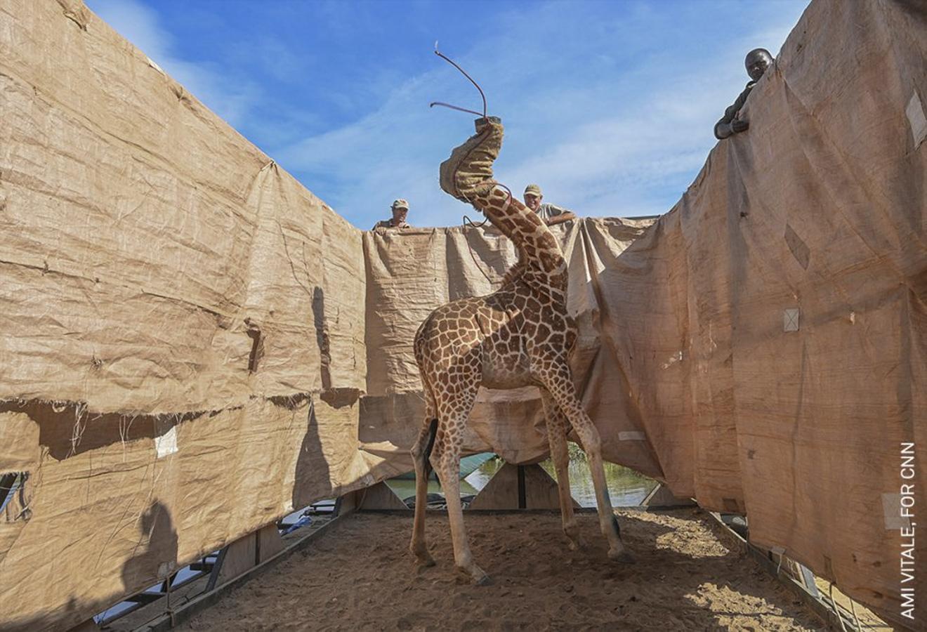 Rescate de jirafas de la isla Flooding | Foto: Ami Vitale