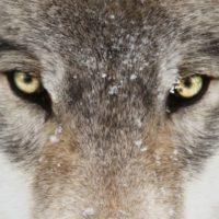 Idaho quiere exterminar al 90% de sus lobos