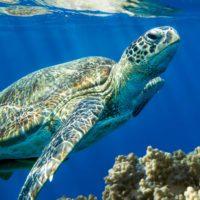 Desvelan el misterio de los épicos viajes de las tortugas por el Pacífico