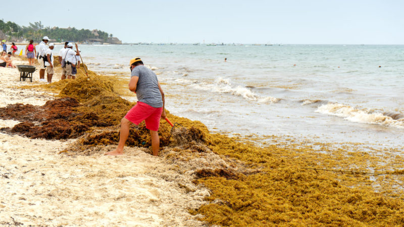 El mar de sargazo amenaza con inundar de algas las costas del Caribe