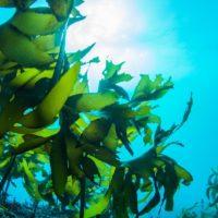 Las algas dan vida a un material curativo y fotosintético