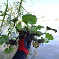 Retiran del Guadalquivir 1.600 kilos de camalote