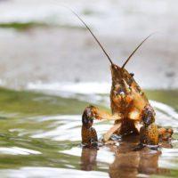 El CSIC localiza el patógeno asesino de cangrejos de río