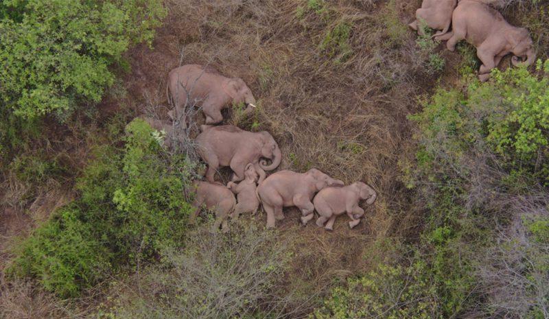 La misteriosa migración de una manada de elefantes por China
