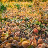 Lluvias y granizo provocan un verano con escasez de fruta