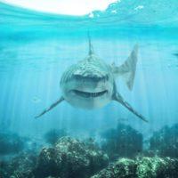 Los tiburones surfean las corrientes de los océanos para ahorrar energía