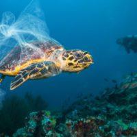 Tortugas marinas: amenazadas por los plásticos y las altas temperaturas
