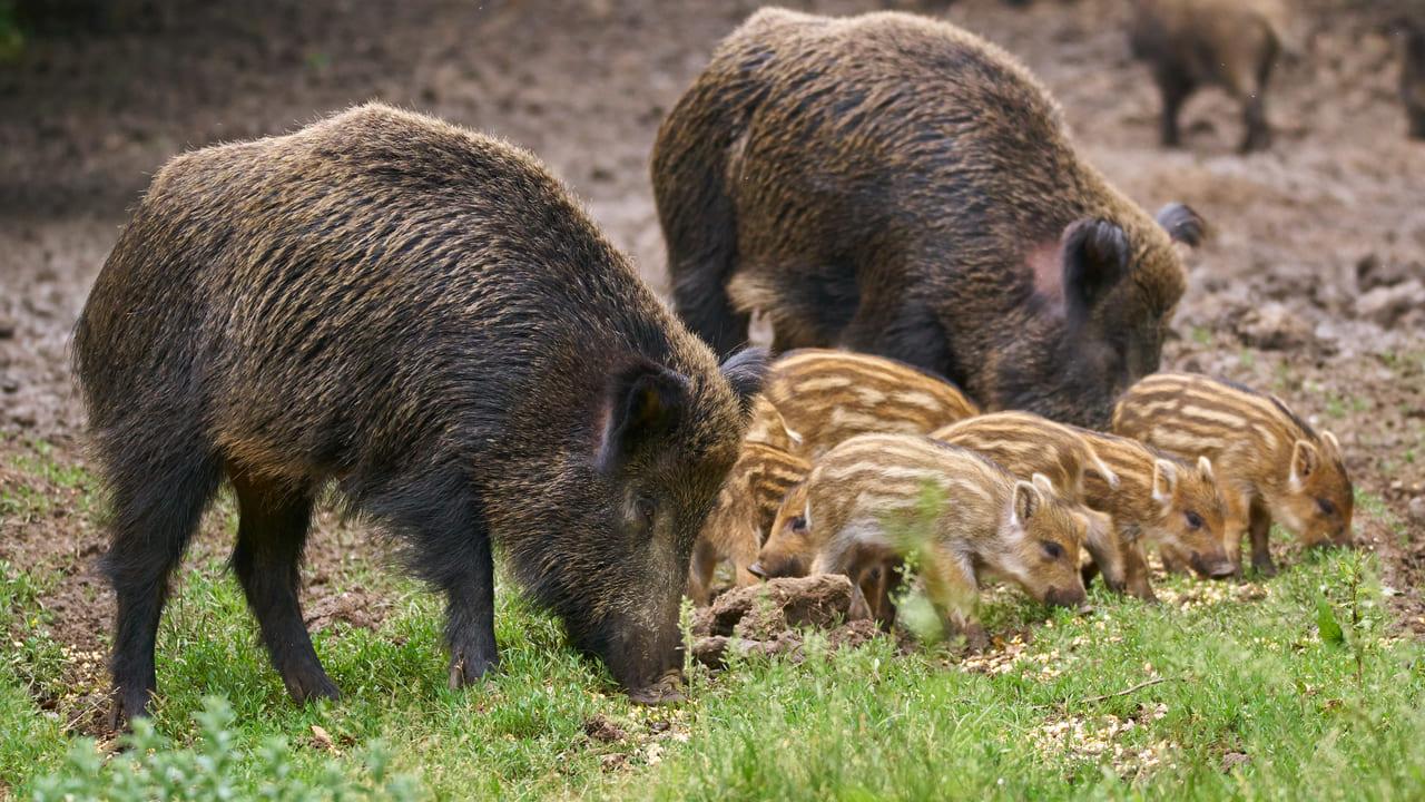 cerdos salvajes estados unidos