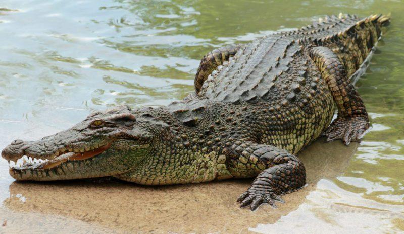 Chile guarda el secreto de la evolución de los cocodrilos