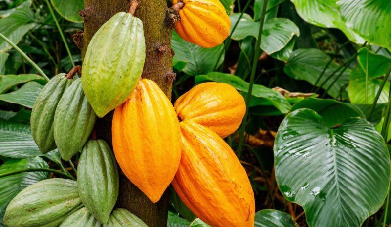 ¿Cuál es la huella hídrica del cacao?