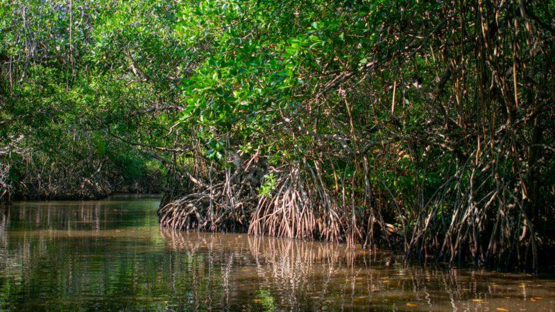 Día Mundial de los Manglares: el escudo acuático de la naturaleza