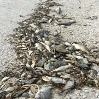 Una marea de algas tóxicas mata a toneladas de peces en Florida