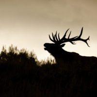 El arte de reintroducir especies en Estados Unidos
