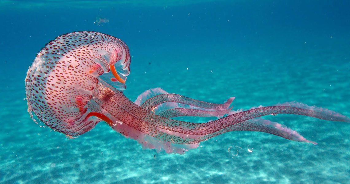Medusas, ¿son cada vez más frecuentes y abundantes?