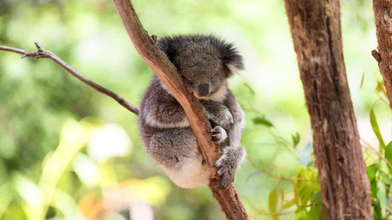 La población de koalas se redujo un 30% en tres años