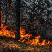 Pinos y eucaliptos: chivos expiatorios en el problema de los incendios forestales