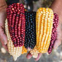 México: sin maíz no hay país