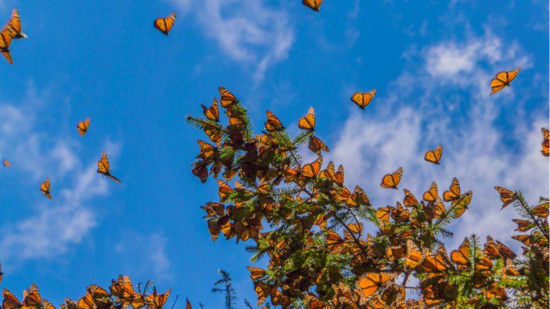 La salvación de la mariposa monarca
